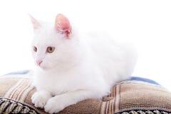 Weiße Katze auf einem weißen Hintergrund Lizenzfreie Stockfotografie