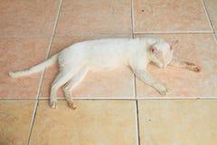 Weiße Katze auf Fliesen stockbilder