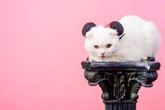 Weiße Katze in den Mäuseohren, Kopienraum haustiere Retten Sie Tiere rein und Hygiene Cat Allergy Natürlicher Pelz Frische Katzen lizenzfreie stockbilder
