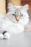 Weiße Katze der sibirischen Zucht, neva Maskeradeversion Lizenzfreies Stockfoto