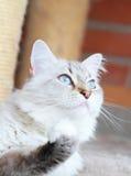 Weiße Katze der sibirischen Zucht, neva Maskeradeversion Lizenzfreies Stockbild