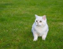 Weiße Katze, die auf dem Gras sitzt Lizenzfreie Stockbilder