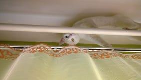 Weiße Katze, die auf Gardinenstange sich versteckt Stockbilder