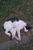 weiße Katze, die auf grünem Gras schläft Stockbild