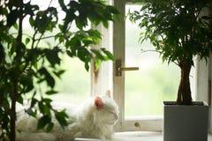 Weiße Katze, die am Fenster auf dem Fensterbrett schläft Nahe bei den Wannen mit Grünpflanzen relax stockbilder