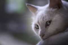 Weiße Katze, die am Fenster kühlt Lizenzfreie Stockfotos