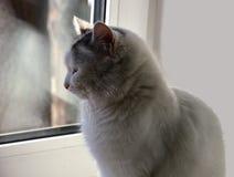Weiße Katze, die am Fenster sitzt aufwartung Lizenzfreie Stockfotografie