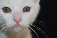 Weiße Katze, die geradeaus schaut Lizenzfreie Stockbilder