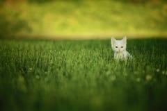 Weiße Katze im grünen Gras Lizenzfreie Stockbilder