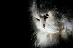 Weiße Katze im schwarzen Hintergrund Lizenzfreies Stockfoto