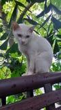 Weiße Katze Khao Manee, die auf der Terrassenschiene sitzt Lizenzfreie Stockfotos