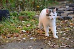Weiße Katze läuft über Herbstlaub zum Ziel Lizenzfreie Stockfotos