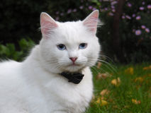 Weiße Katze mit blauen Augen Lizenzfreie Stockfotografie