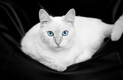 Weiße Katze mit blauen Augen Stockbild
