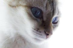 Weiße Katze mit blauen Augen Stockfotografie