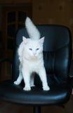 Weiße Katze mit blauen Augen und dem buschigen Schwanz Lizenzfreie Stockfotografie