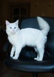 Weiße Katze mit blauen Augen und dem buschigen Schwanz Lizenzfreies Stockfoto