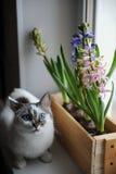 Weiße Katze mit blauen Augen und empfindlicher Frühlingshyazinthe blüht in einer Holzkiste auf einem Fensterbrett Rosa, blaue Far Stockbild