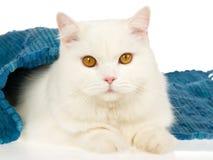 Weiße Katze mit blauer Wolldecke Stockfoto