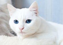 Weiße Katze mit dem Aufpassen der blauen Augen Lizenzfreies Stockfoto