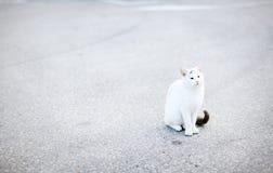 Weiße Katze mit dem schwarzen Endstück, das auf der Straße, Asphalt sitzt Lizenzfreies Stockfoto