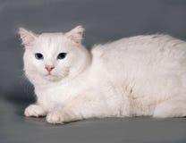 Weiße Katze mit den blauen Augen, die auf Grau liegen Stockbild