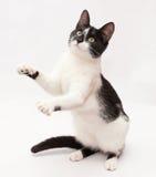 Weiße Katze mit den schwarzen Flecken und gelbem Augentanzen, an stehend Lizenzfreie Stockfotos