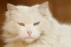 Weiße Katze mit einem blauen Auge und einem grünen Auge Stockfotografie