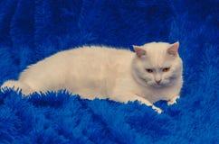 Weiße Katze mit gelben Augen auf einem blauen Hintergrund lizenzfreies stockbild