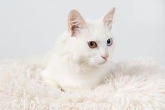 Weiße Katze mit verschiedenen farbigen Augen Stockfotografie