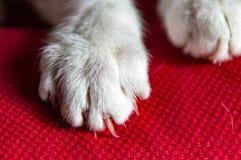 Weiße Katze ` s Tatze mit Greifer stockfoto