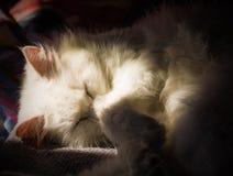 Weiße Katze Schlafens lizenzfreie stockfotos