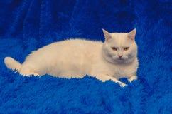 Weiße Katze sitzen auf einer blauen Decke lizenzfreie stockbilder