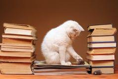 Weiße Katze, welche die Plüschmaus betrachtet Lizenzfreies Stockbild
