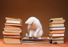 Weiße Katze, welche die Plüschmaus betrachtet Stockfoto