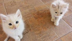 Weiße Katzen, die auf Sie warten lizenzfreies stockfoto