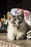 Weiße Katzenniederlegung Stockbilder