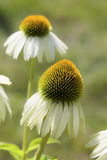 Weiße Kegel-Blume lizenzfreie stockfotos