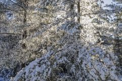 Weiße Kiefern bedeckt mit Morgen Frost im Adirondack Mountai Stockbilder
