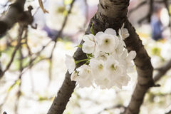 Weiße Kirschbaumblüten Stockfoto