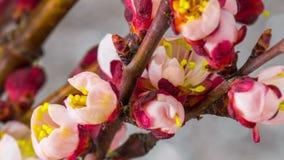 Weiße Kirschbaumblumen stock video