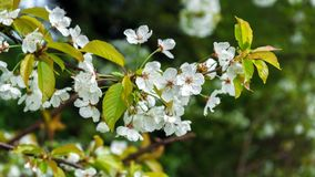Weiße Kirschbaumniederlassungsblumen im Frühjahr stockbilder
