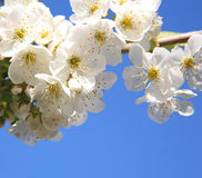 Weiße Kirschblüte Stockbild