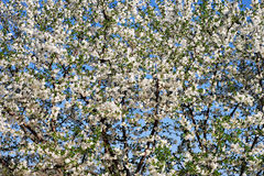 Weiße Kirschblüte Stockfotografie