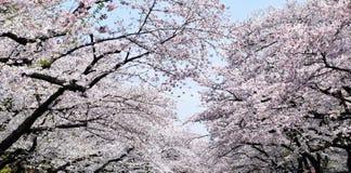 Weiße Kirschblüte Stockbilder