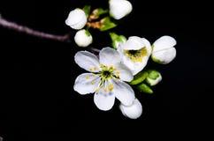 Weiße Kirschblüte Stockfotos