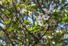 Weiße Kirschblüte Lizenzfreies Stockbild