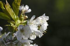 Weiße Kirschblüte Stockfoto