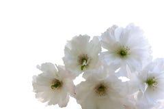 Weiße Kirschblüte-Blumen auf einem weißen Hintergrund Lizenzfreie Stockfotografie