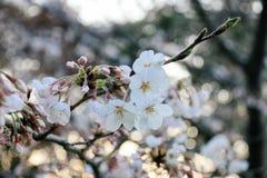 Weiße Kirschblüte mit Weichzeichnungshintergrund Stockfotografie